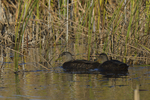 Black Ducks move about on a marsh.  8585 drive 9