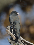 A Dark-eyed Junco perches on a stump.  8643 drive 9