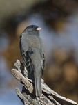 A Dark-eyed Junco perches on a stump.  8645 drive 9