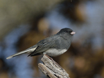 A Dark-eyed Junco perches on a stump.  8646 drive 9