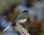 A Dark-eyed Junco perches on a stump.  8647 drive 9