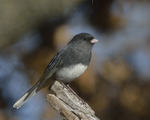 A Dark-eyed Junco perches on a stump.  8649 drive 9