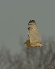 A Short-eared Owl hunts in a prairie.  8742 drive 9