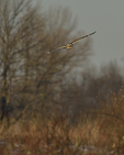 A Short-eared Owl hunts in a prairie.  8744 drive 9