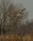 A Short-eared Owl hunts in a prairie.  8745 drive 9