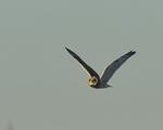 A Short-eared Owl flies over.  8749 drive 9