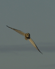 A Short-eared Owl flies over.  8750 drive 9