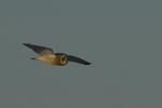 A Short-eared Owl flies over.  8751 drive 9