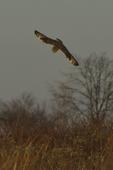 A Short-eared Owl flies down on a prairie as it hunts.  8752 drive 9