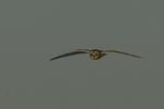 A Short-eared Owl flies over.  8755 drive 9