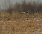 A Short-eared Owl hunts in a prairie.  8761 drive 9