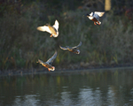 Shovelers fly in before sunset.  8247 drive 9