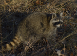 A Raccoon sits up on the ground.  8609 drive 9