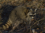 A Raccoon sits up on the ground.  8610 drive 9