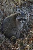 A Raccoon sits up on the ground.  8616 drive 9