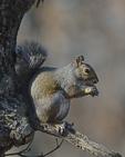 A Gray Squirrel eats an acorn.  8638 drive 9