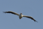 A White Pelican flies over.  8770 drive 9