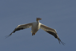 A White Pelican flies over.  8781 drive 9