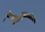 A White Pelican flies over.  8786 drive 9