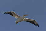 A White Pelican flies over.  8787 drive 9
