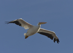 A White Pelican flies over.  8788 drive 9