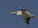 A White Pelican flies over.  8794 drive 9