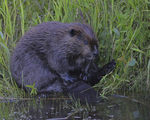 A Beaver grooms on shore.  7443 drive 9