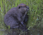 A Beaver grooms on shore.  7447 drive 9