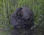 A Beaver grooms on shore.  7448 drive 9