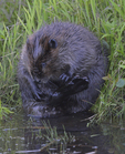A Beaver grooms on shore.  7454 drive 9
