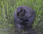 A Beaver grooms on shore.  7460 drive 9