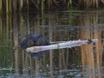 A Beaver feeds on a stick.  7517 drive 9