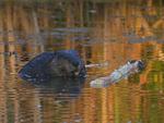 A Beaver feeds on a stick.  7518 drive 9