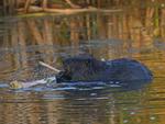 A Beaver feeds on a stick.  7520 drive 9