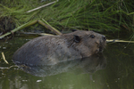 A Beaver climbs up out of the water.  6998 drive 9