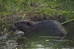A Beaver climbs up out of the water.  6999 drive 9