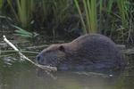 A Beaver feeds on a stick.  7068 drive 8