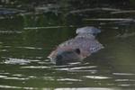 A Beaver feeds on a stick.  7070 drive 8