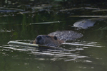 A Beaver feeds on a stick.  7071 drive 8