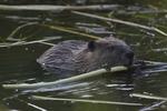 A Beaver feeds on a stick.  7103 drive 8