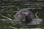 A Beaver feeds on a stick.  7122 drive 8