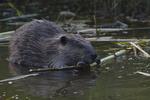 A Beaver feeds on a stick.  7130 drive 8