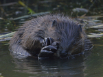 A Beaver grooms its hind foot.  7156 drive 8