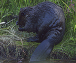 A Beaver grooms on shore.  7157 drive 8