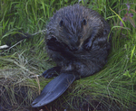 A Beaver grooms on shore.  7165 drive 8
