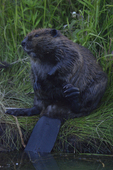 A Beaver scratches as it grooms on shore.  7265 drive 8