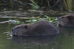 Beavers feed on leaves in the water.  7326 drive 8