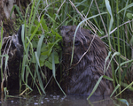 A Beaver reaches up to feed.  5793 drive 8