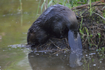 A Beaver goes back down to the water.  5823 drive 8