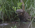 A Beaver reaches and grabs some leaves.  5828 drive 8